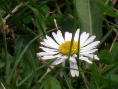 gaensebluemchen-pict0011.jpg